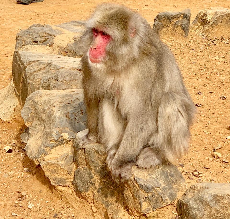 Macaque monkey Arashiyama